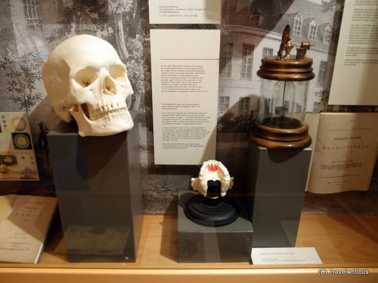 Zwischenkieferknochen im Romantikerhaus von Jena